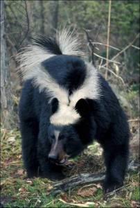 Skunk-Bear--14394